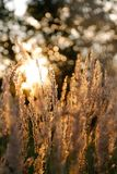 Grasses, Meadow, Grass, Evening Royalty Free Stock Image