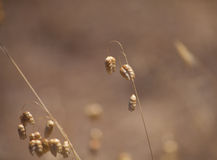 Grasses natural background Royalty Free Stock Image