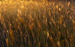 Grasses of the red sun. Stock Image