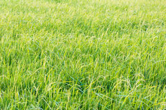 Grasses in the rice field Royalty Free Stock Images