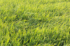 Grasses in the rice field Royalty Free Stock Image