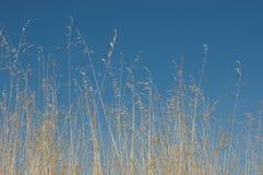 Grasses. Several grasses in a field of Castilla Stock Image