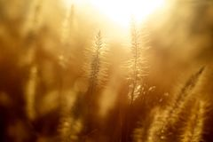 Grasses in sunlight Royalty Free Stock Photography