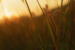 Grasses at sunset Stock Images