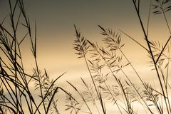 Grasses Field Sunset stock images