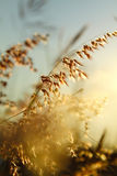 Grasses at sunset time Stock Image
