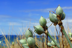 Grasses and tubers growing on the dunes Stock Photography