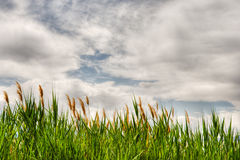 Grasses under a cloudy sky Stock Image