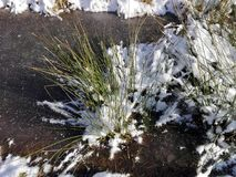 Grasses under snow and ice. Closeup of a grass tuft Royalty Free Stock Photos