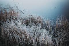 The grasses in the white frost after cooling. The shore of the lake. The river in the early morning royalty free stock images