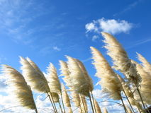 Grasses in the wind. A symbol of natural purity in the Channel islands Stock Image