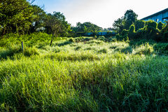 Grassfield in beautiful sunshine. ChiangMai, Thailand. January, 15-2017: Grassfield in some place growing up rapidly in natural background Royalty Free Stock Photo