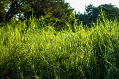 Grassfield in beautiful sunshine. ChiangMai, Thailand. January, 15-2017: Grassfield in some place growing up rapidly in natural background Stock Photography