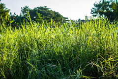 Grassfield in beautiful sunshine. ChiangMai, Thailand. January, 15-2017: Grassfield in some place growing up rapidly in natural background Stock Photos