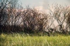 Grassfield med de döda träden arkivfoto