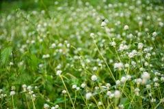 Grassflower foto de archivo