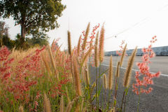 Grassflower Fotografia Stock