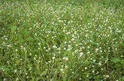 Grassflower Stock Photos