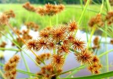 Grassflower orange photos stock