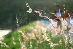 Grassfower日落绿色pinkflower 库存图片