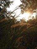 Grassheads secos en el sol de la tarde Fotos de archivo libres de regalías