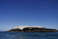 Grassholm Gannets Royalty Free Stock Photography