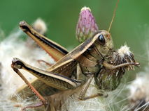 Grasshooper macro with plant Royalty Free Stock Image