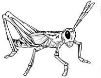 grasshopeer чертежа Стоковые Изображения