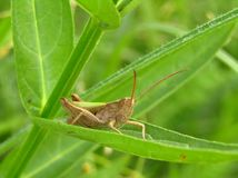 Grasshoper σε ένα φύλλο Στοκ εικόνες με δικαίωμα ελεύθερης χρήσης
