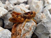 Grasshoper Στοκ φωτογραφία με δικαίωμα ελεύθερης χρήσης
