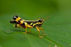 grasshoper Arkivbild