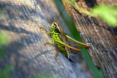 Grasshoper Imagen de archivo libre de regalías