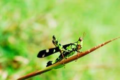 Grasshoper Fotografering för Bildbyråer