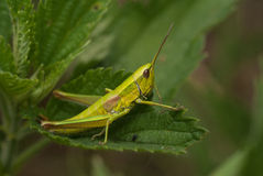 Grasshoper Royalty Free Stock Photos