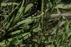 Grasshoper chuje na roślina liściu Obrazy Royalty Free