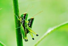 Grasshoper Royaltyfri Fotografi