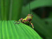 Grasshoper Royalty Free Stock Photo