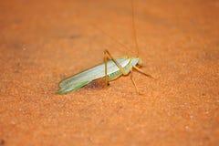 Grasshoper del desierto Imagen de archivo libre de regalías