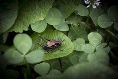 Grasshoper foncé sur une feuille photographie stock libre de droits