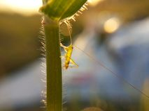 Grasshoper on grass. Marco Stock Images