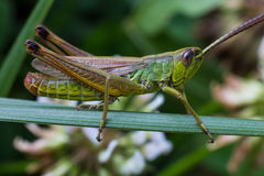 Grasshoper Royalty Free Stock Images