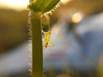 Grasshoper na trawie marconi obrazy stock