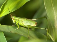 Grasshoper nymph. On leaf Royalty Free Stock Photography