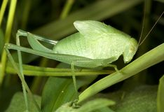 Grasshoper Nymphe Lizenzfreie Stockbilder