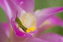 Grasshoper on siam tulip Stock Image