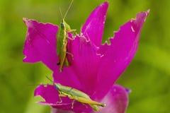 Grasshoper on siam tulip Stock Photography
