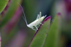 Grasshoper transparente Fotos de archivo