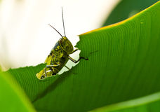 grasshoppe κρυφοκοιτάζοντας Στοκ Φωτογραφία
