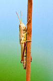Grasshoppe макроса коричневое Стоковые Фото