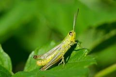 Grasshoppe Photographie stock libre de droits